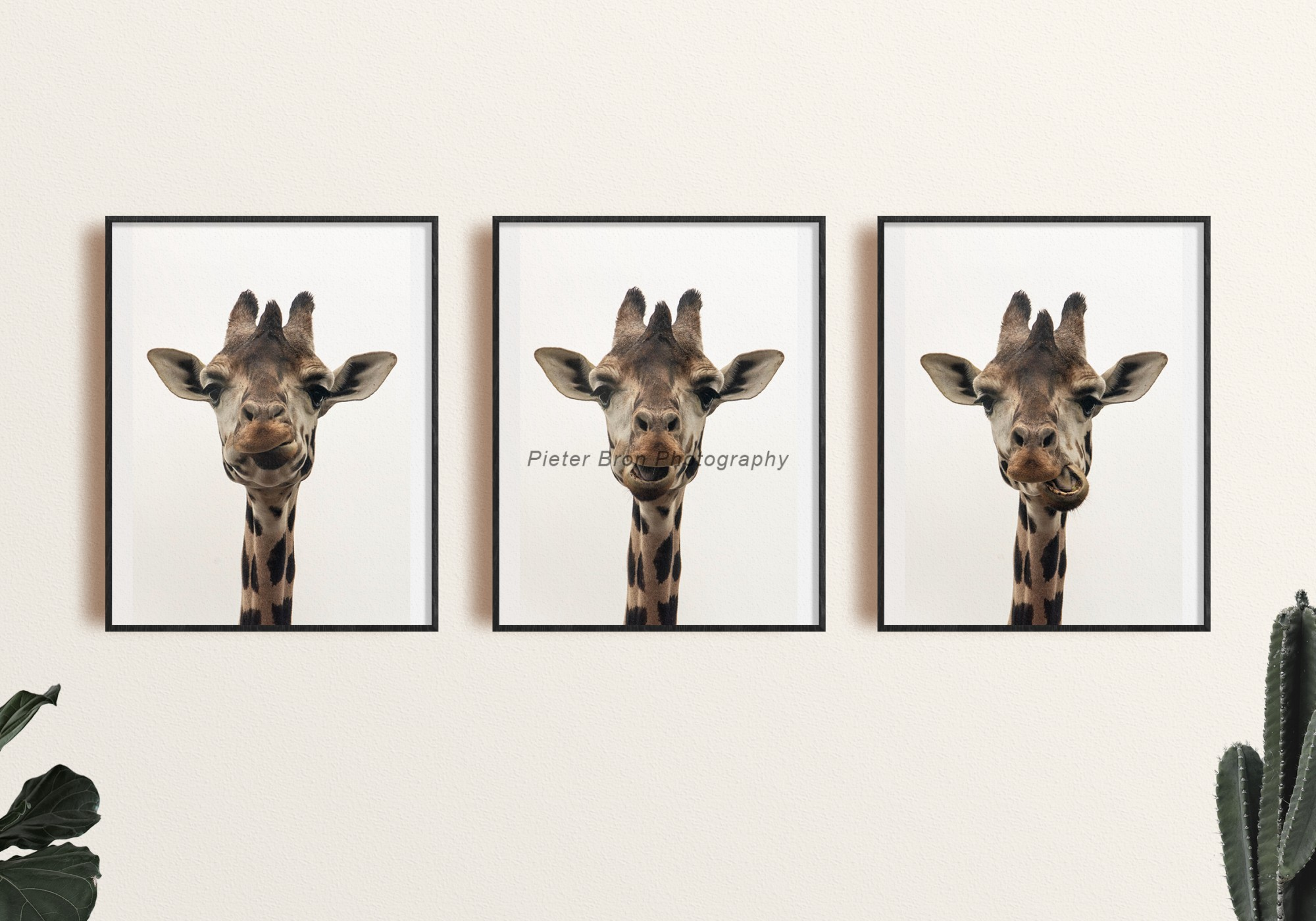 Triptych of Giraffes